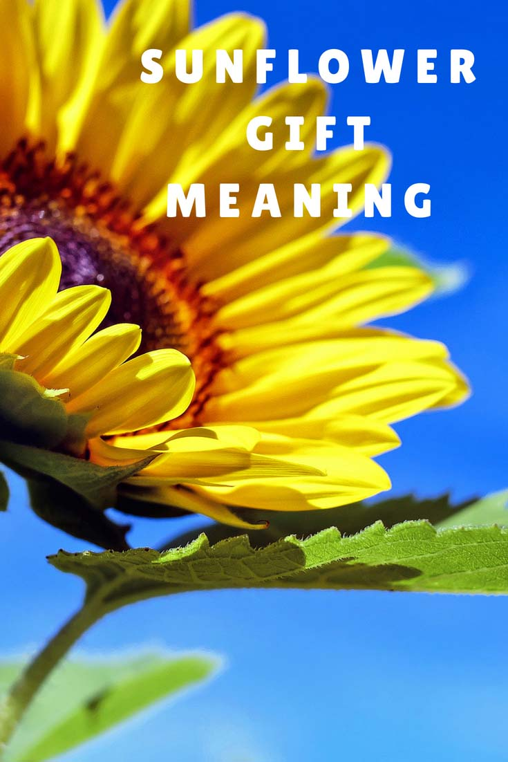Sunflower Gift Meaning Sunflower Meaning And Symbolism