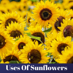 10 uses of sunflowers